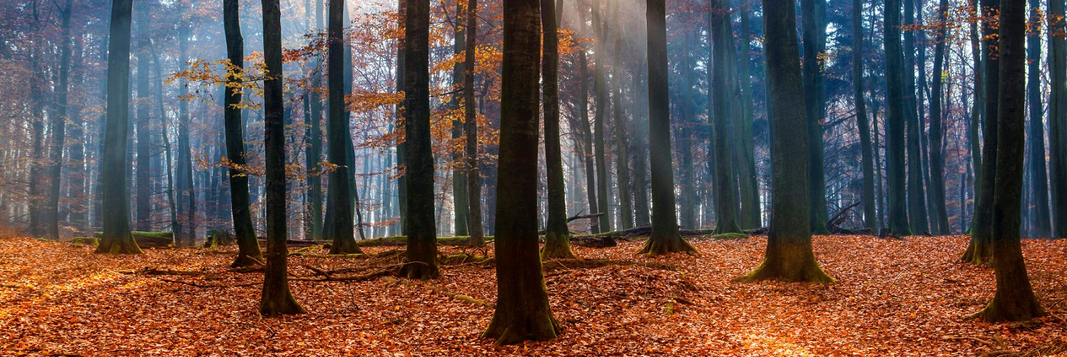 Beech grove in autumn. Baltic Sea - National Park Jasmund.